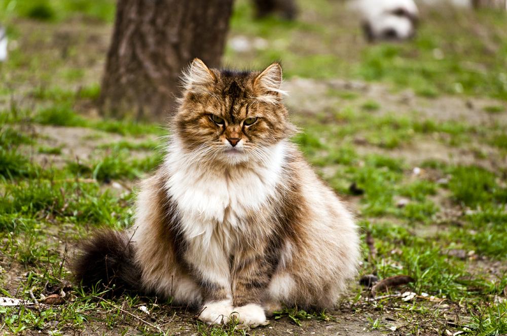"""фото """"Сердитый кот"""" метки: природа, кот"""