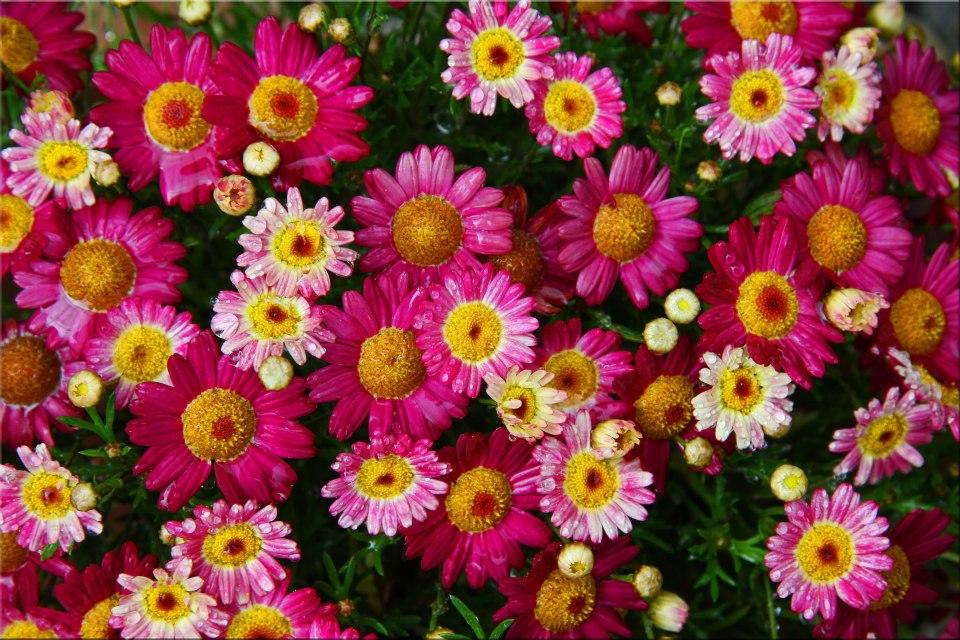 """фото """"Pink Bouquet"""" метки: природа, макро и крупный план, пейзаж,"""