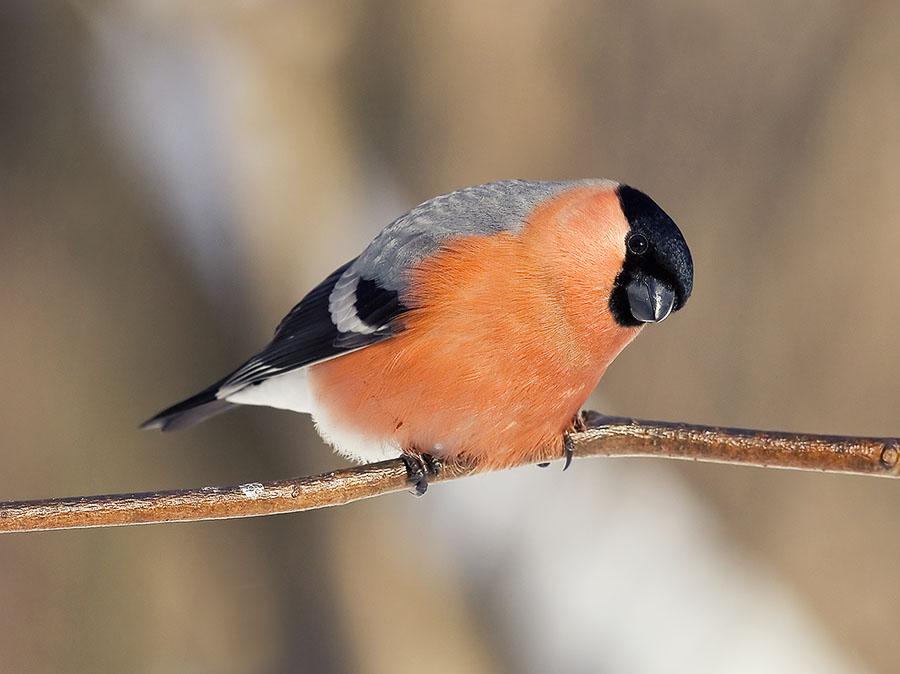 "фото ""снегирек"" метки: природа,"