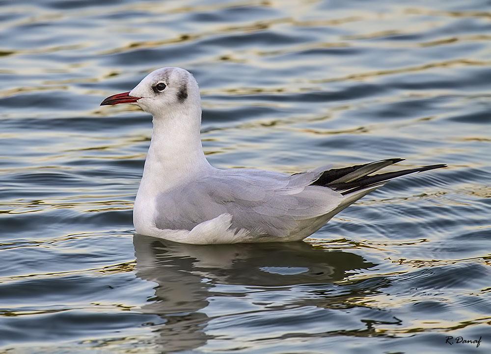"фото ""Gull"" метки: природа, птица"