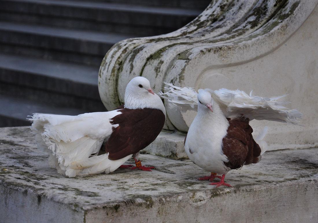 """фото """"Прерванный полет"""" метки: природа, голуби"""