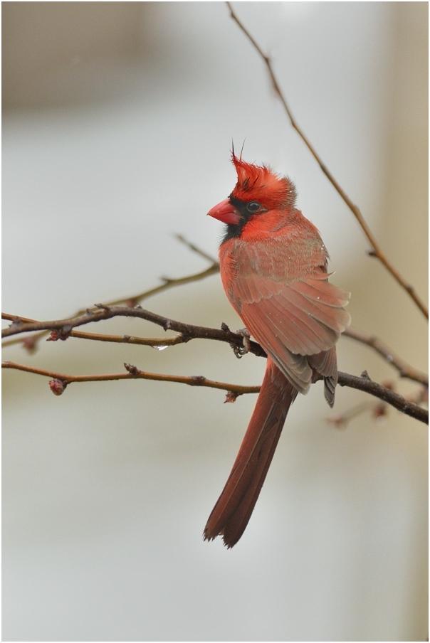 """фото """"Чубчик кучерявый... или Ветром голову надуло"""" метки: природа, птица"""