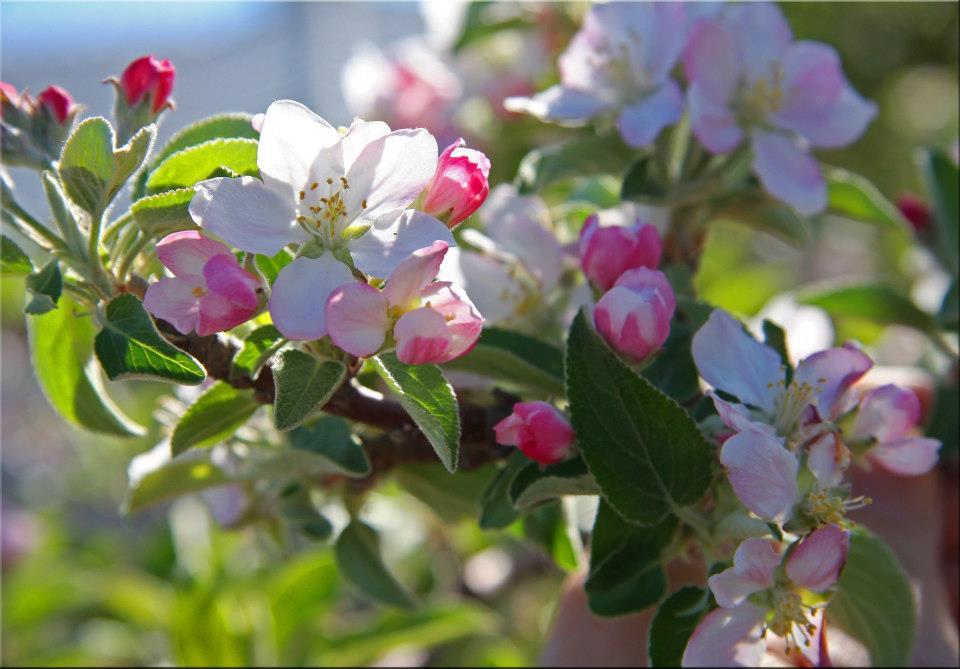 """фото """"Peach Buds"""" метки: природа, макро и крупный план,"""