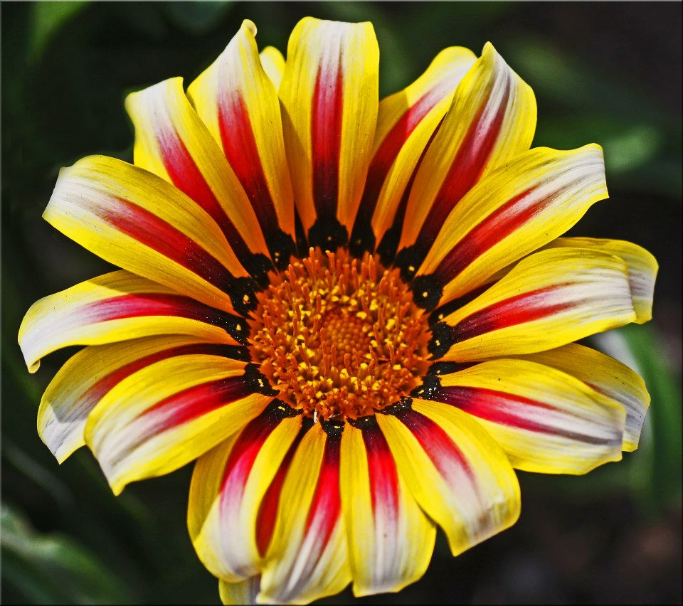 "photo ""Gazania"" tags: macro and close-up, nature,"