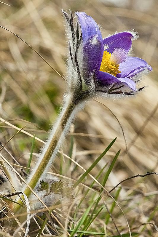 "фото ""про лютики"" метки: природа, весна, красиво, лютик, прострел, сибирь, цветы"
