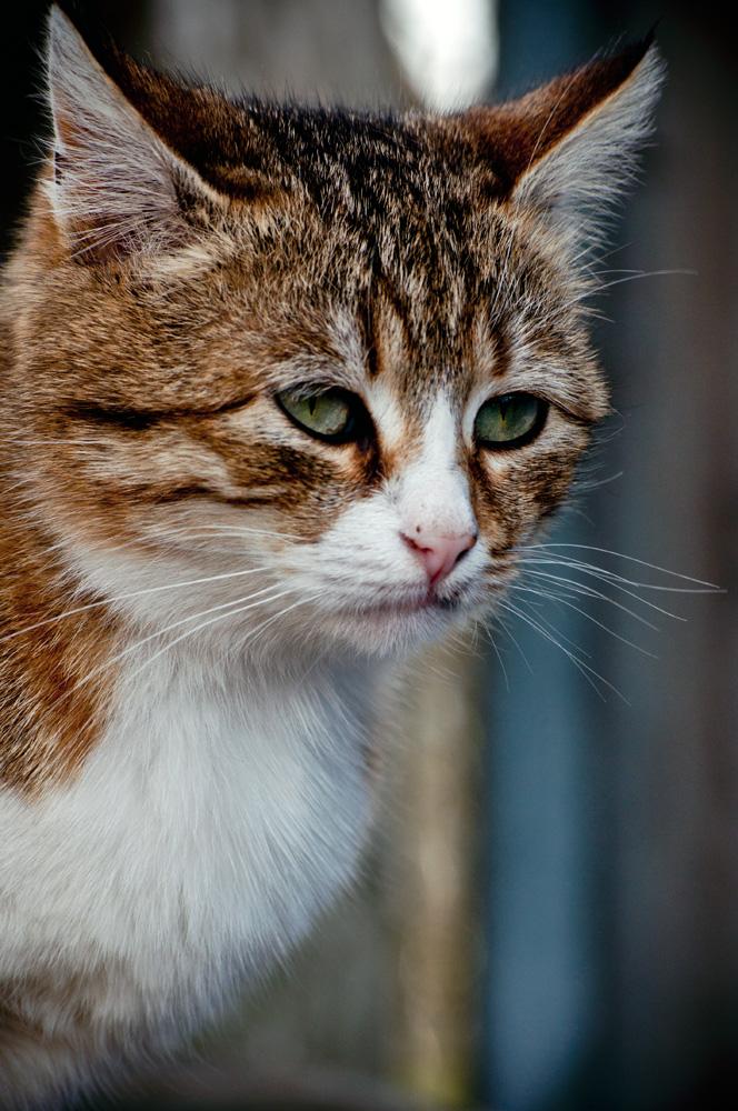 "фото ""Грустная кошка"" метки: природа, кошка.грустная.взгляд"