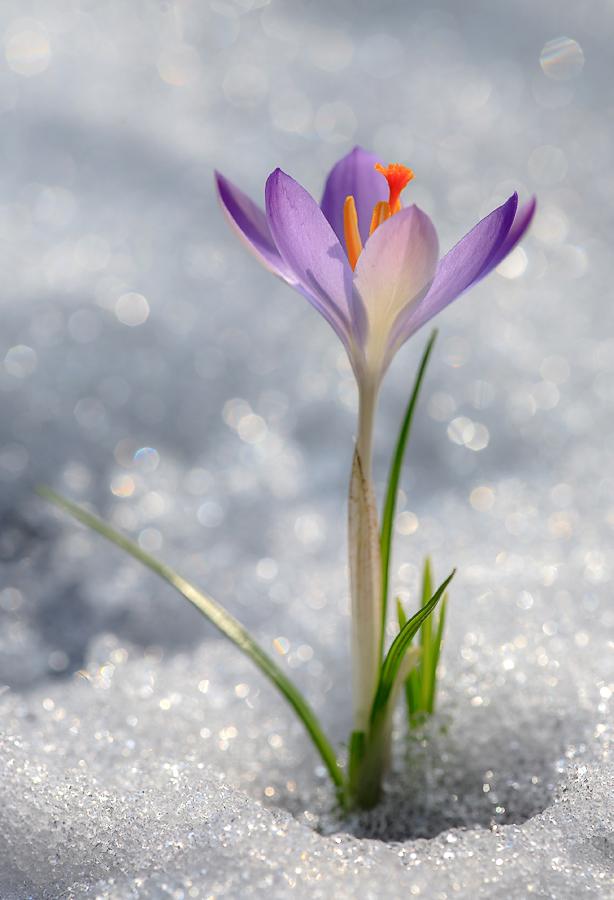 """фото """"pilot"""" метки: природа, макро и крупный план, весна, крокусы, первоцветы, подснежники, снег, солнце, цветок"""