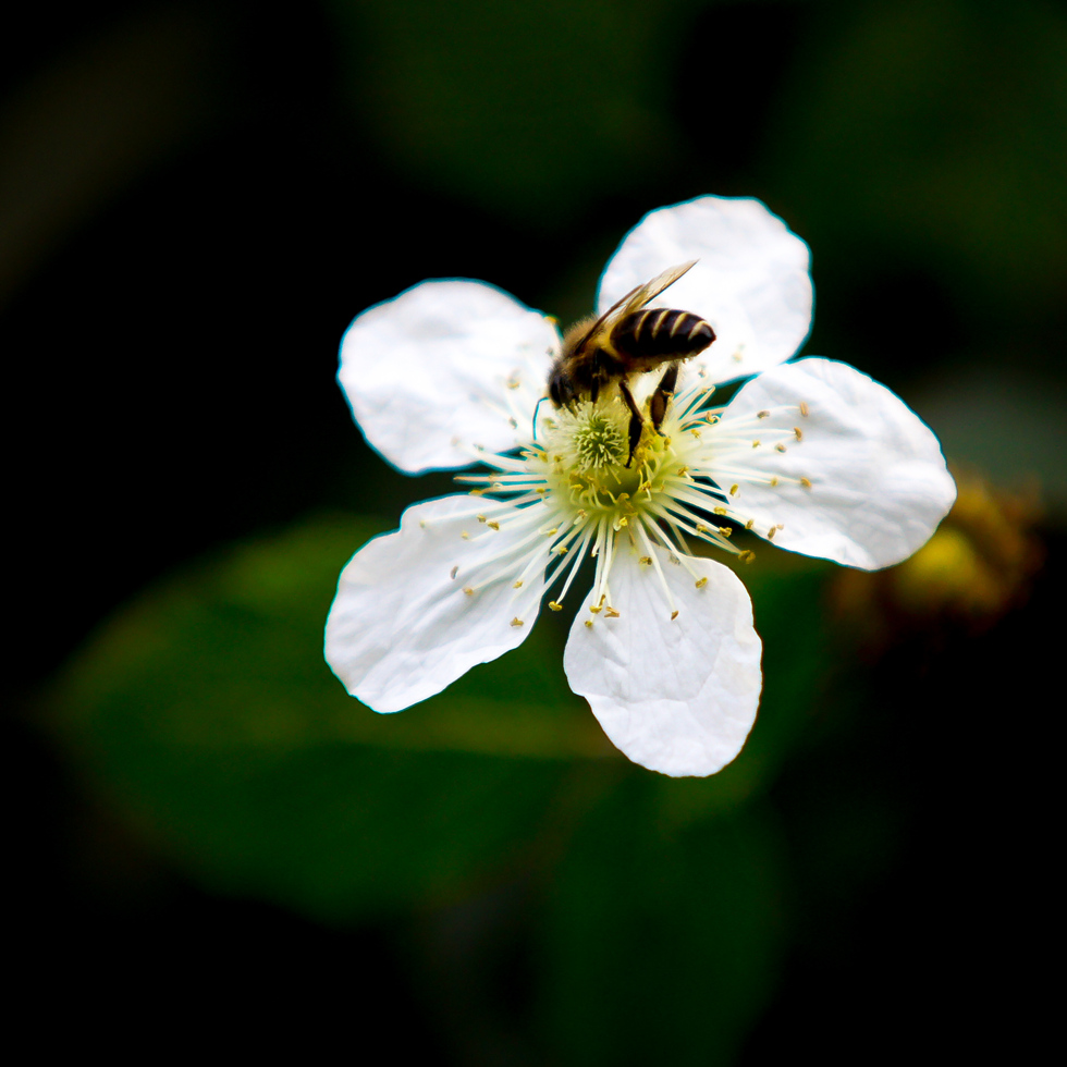 "photo ""bee"" tags: travel, nature, macro and close-up, Asia, flowers, pets/farm animals, spring"