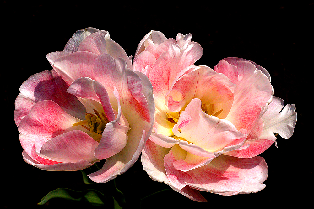 """photo """"***"""" tags: macro and close-up, flowers, tulips"""