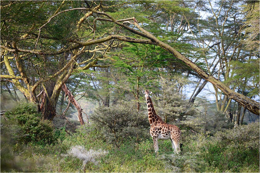 """фото """"Жираф в интерьере"""" метки: природа, путешествия, пейзаж, Африка, дикие животные, жираф, лес"""