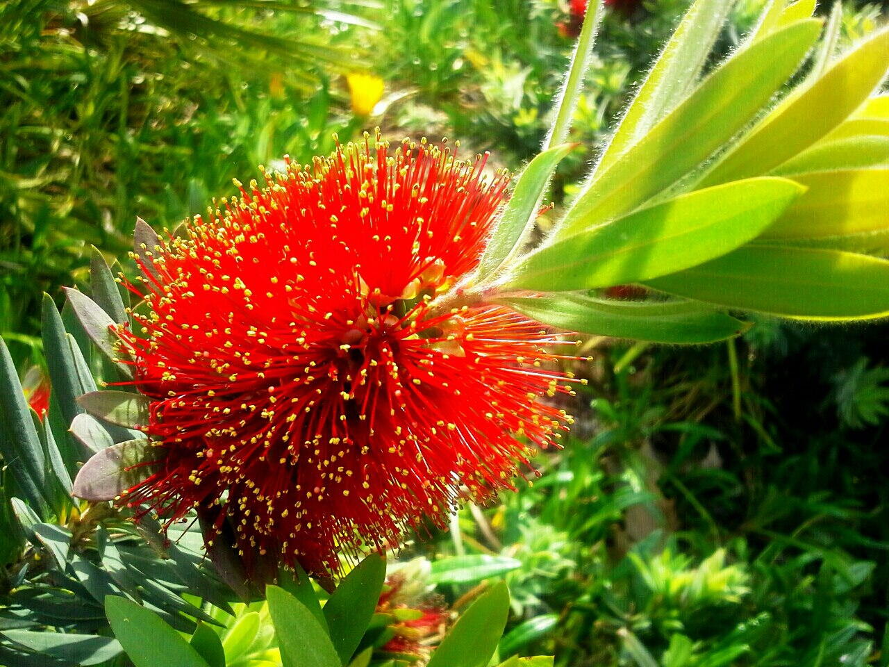 "photo ""Bottle Brush"" tags: nature, macro and close-up,"