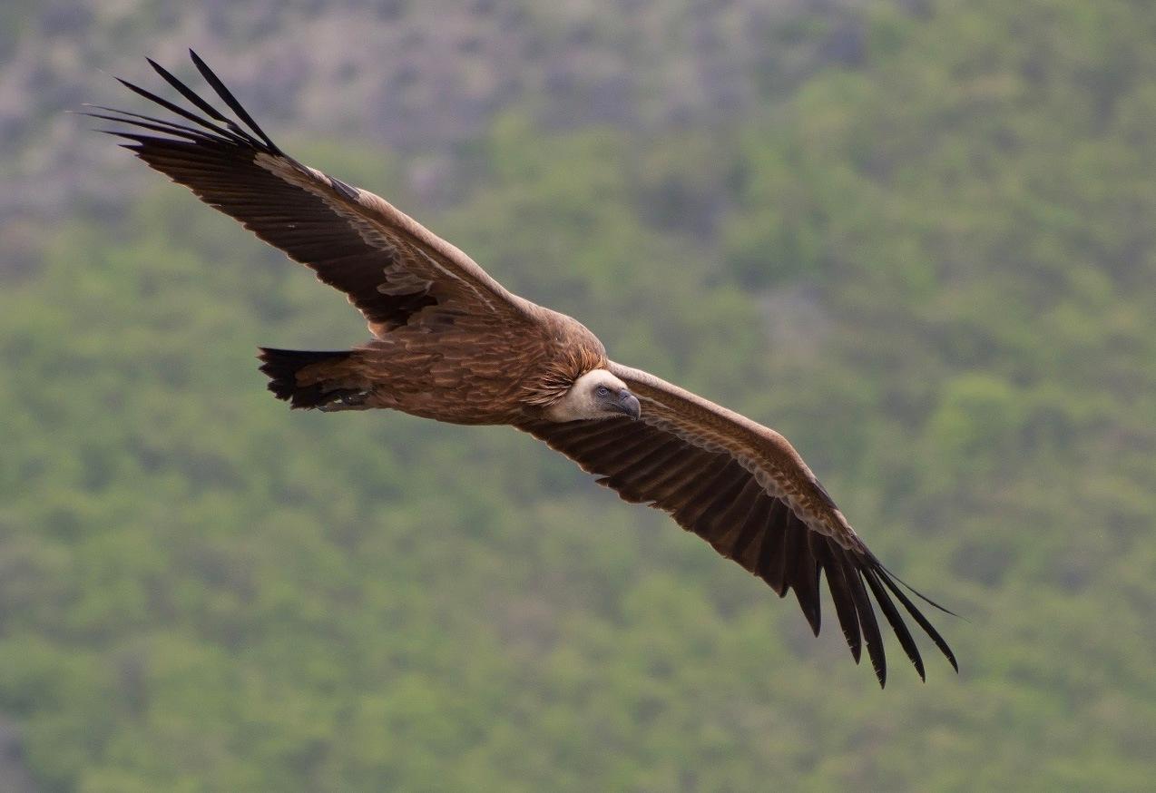 """фото """"Сип в полете"""" метки: природа, Сип, взгляд, дикие животные, крылья, лес, полет, размах"""