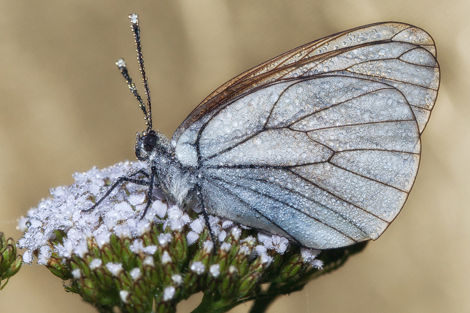 "photo ""***"" tags: macro and close-up, nature, butterfly, morning, капли, роса"