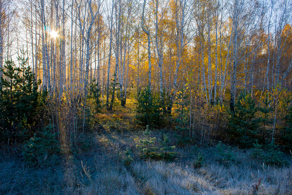 "фото ""Морозное осеннее утро"" метки: пейзаж, МОРОЗНОЕ УТРО, березы, желтая листва, осень, пейзаж, свет"