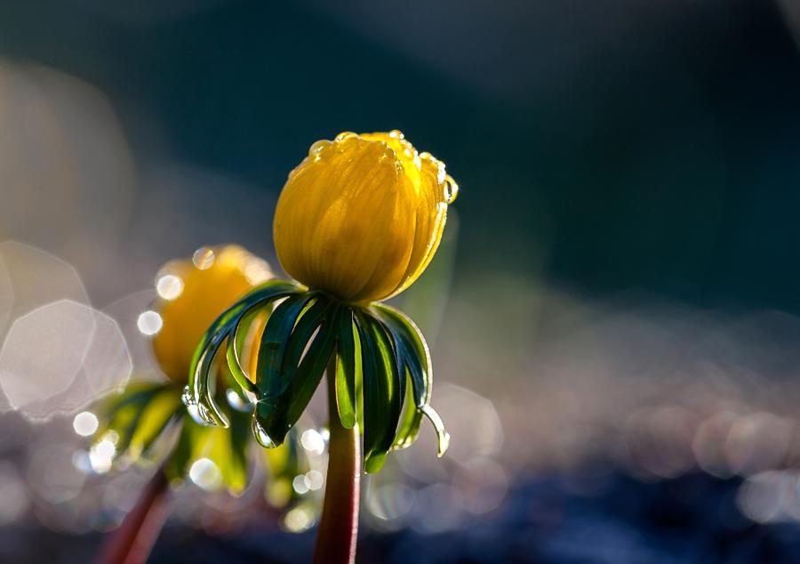 """фото """"april morning"""" метки: природа, макро и крупный план, весна, первоцветы, свет, солнце, цветы"""