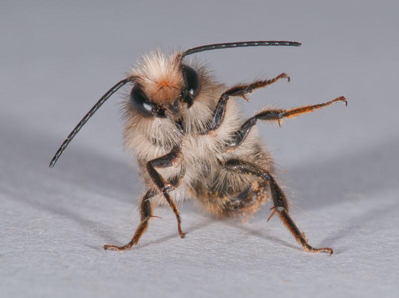 """фото """"Bee"""" метки: природа, макро и крупный план, bee, насекомое"""