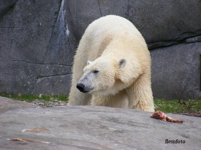 "photo ""Polar bear"" tags: nature,"