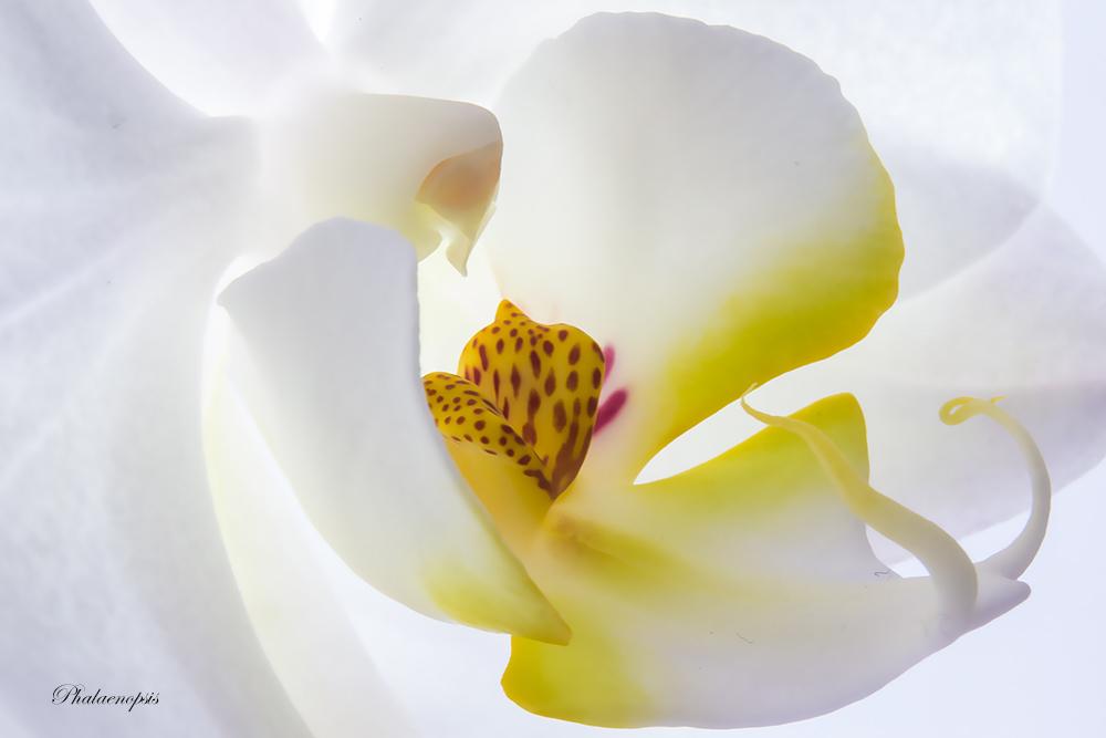 "фото ""Phalaenopsis"" метки: ,"