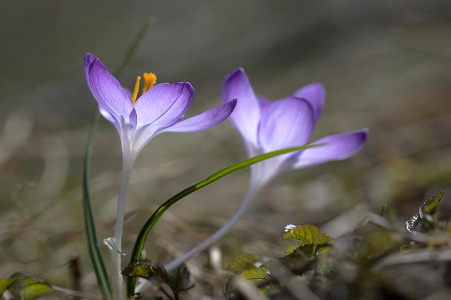 """фото """"апрельский вальс"""" метки: природа, макро и крупный план, весна, крокусы, первоцветы, свет, солнце, цветок, цветы"""