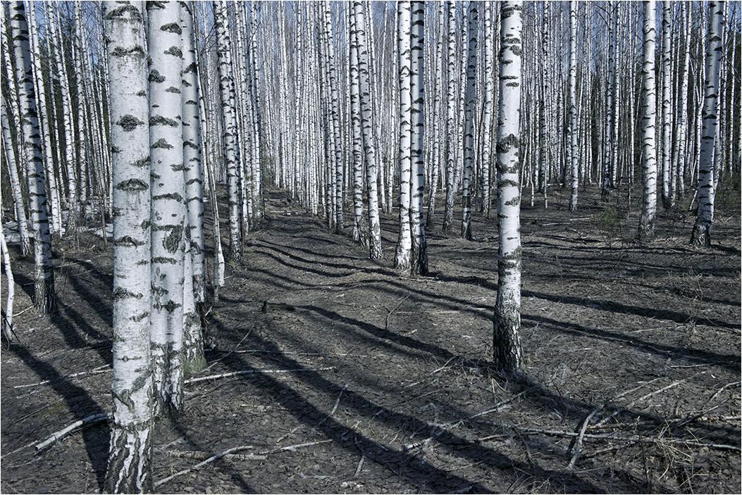 """фото """"Весна. Березки."""" метки: пейзаж, природа, путешествия, березы, весна, лес"""