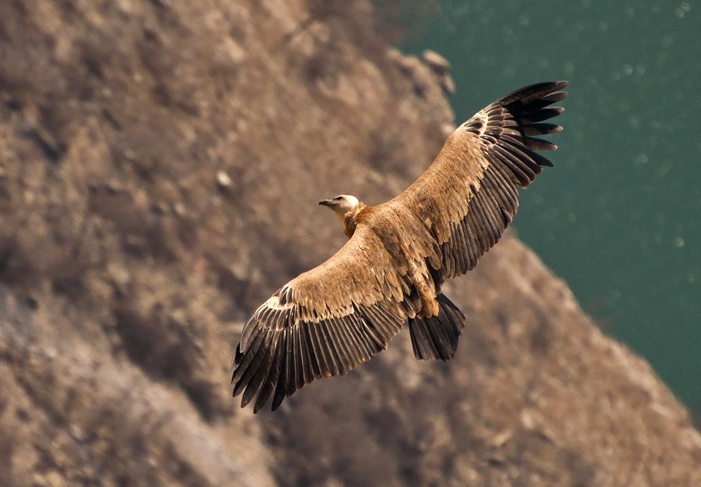 """фото """"Взгляд"""" метки: природа, Сип, взгляд, дикие животные, крылья, полет, размах"""