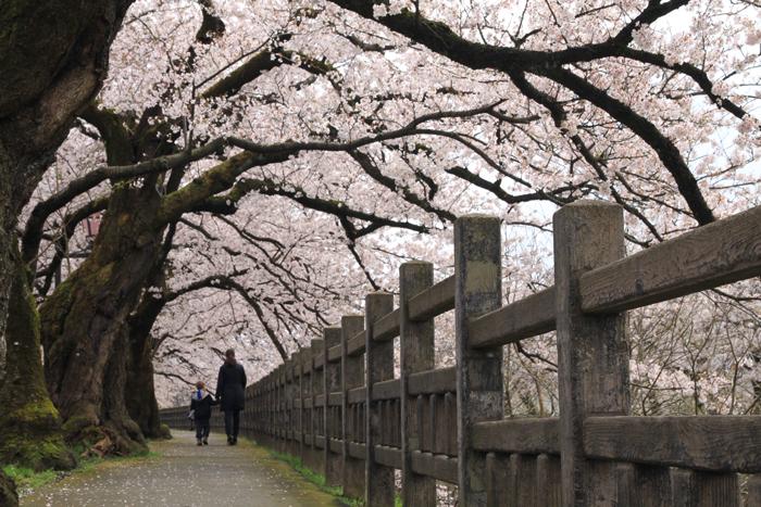 """фото """"Ханами , что в переводе с японского означает - любование цветущей сакурой!"""" метки: природа, сакура, ханами, япония"""