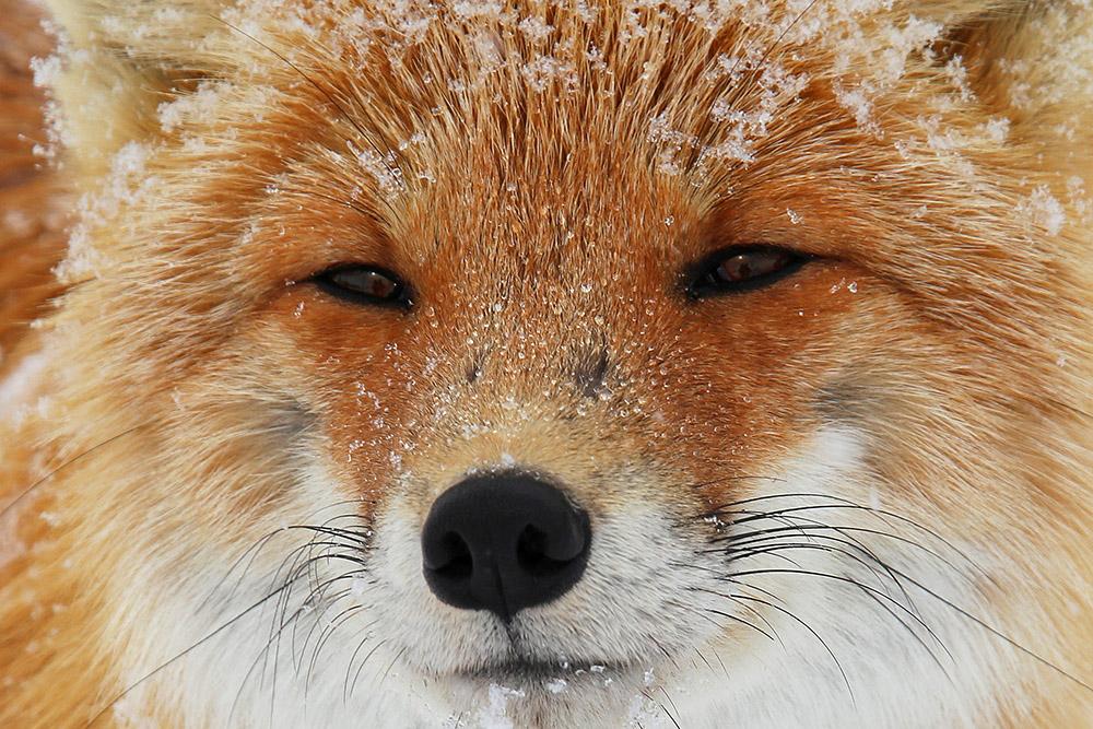 "фото ""Мудрый лис"" метки: природа, Камчатка, лис"
