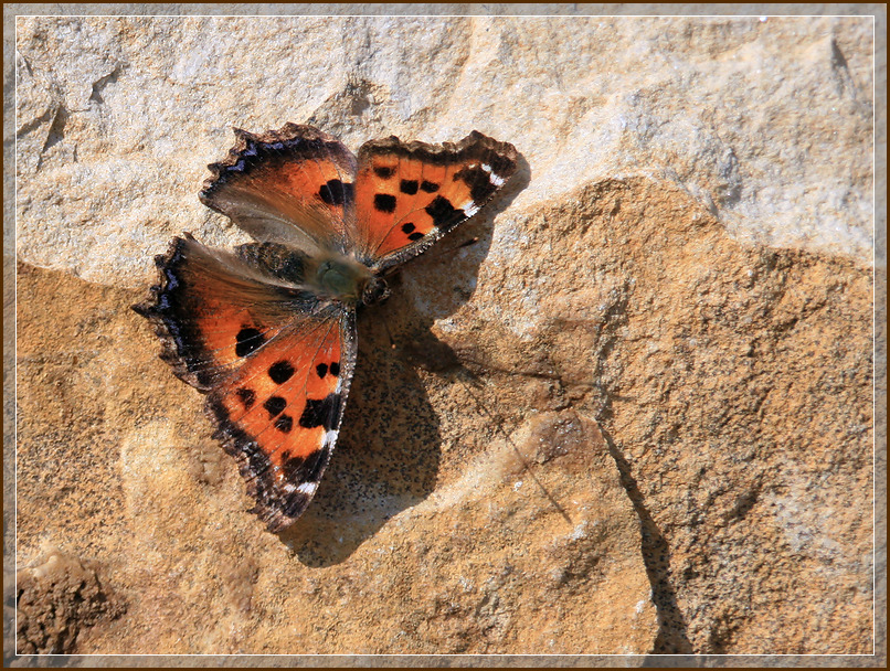 "photo ""Aglais urticae"" tags: nature, butterfly"