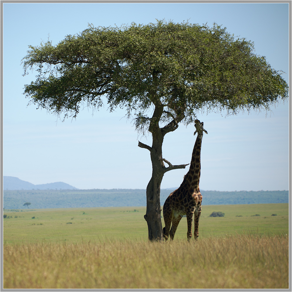 "photo ""In the African heat..."" tags: travel, landscape, nature, Africa, wild animals, акация, жираф, саванна"