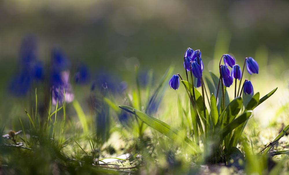 """фото """"на солнечной полянке"""" метки: природа, макро и крупный план, весна, первоцветы, свет, солнце, цветок, цветы"""