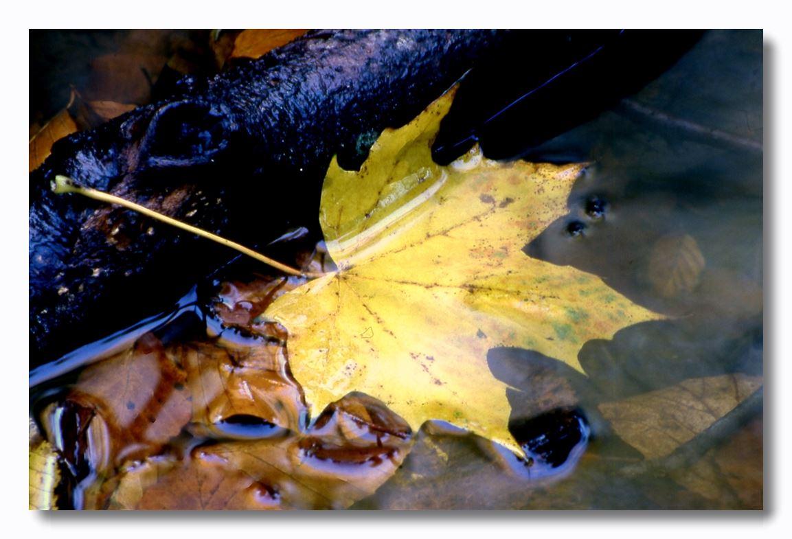 """фото """"leaves"""" метки: природа, макро и крупный план,"""