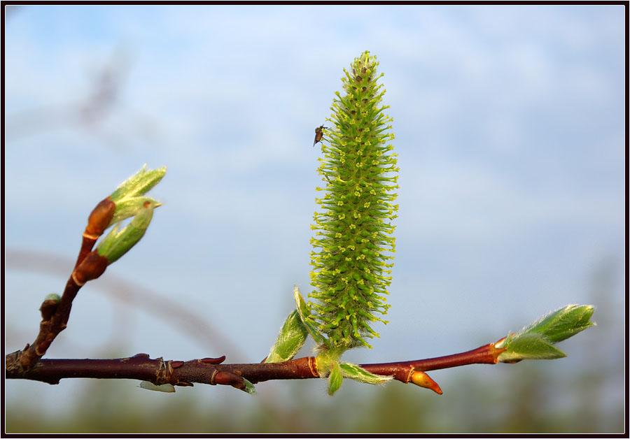 "фото ""Весенний этюд"" метки: природа, ива"