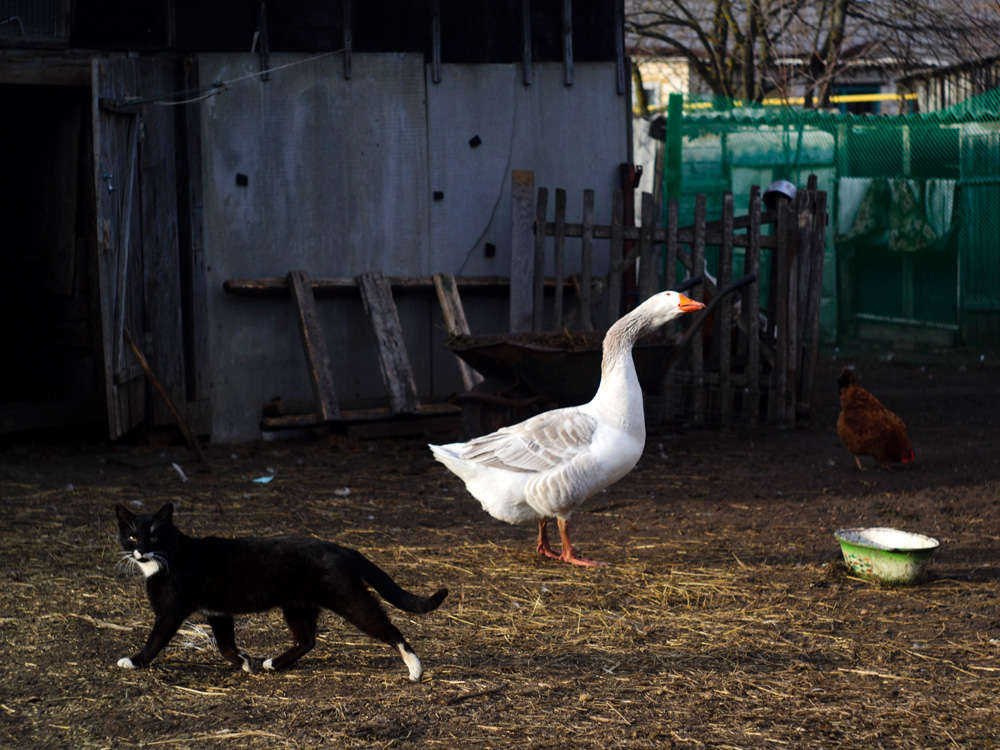 "photo ""Barnyard"" tags: misc., pets/farm animals, tomcat, гусь, курица, скот"