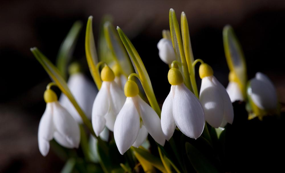 """фото """"весенний перезвон"""" метки: природа, макро и крупный план, весна, первоцветы, свет, солнце, цветок, цветы"""