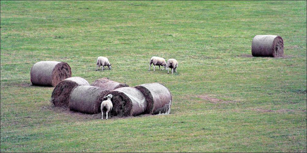 """фото """"Не такая, как все."""" метки: природа, домашние животные, овцы"""