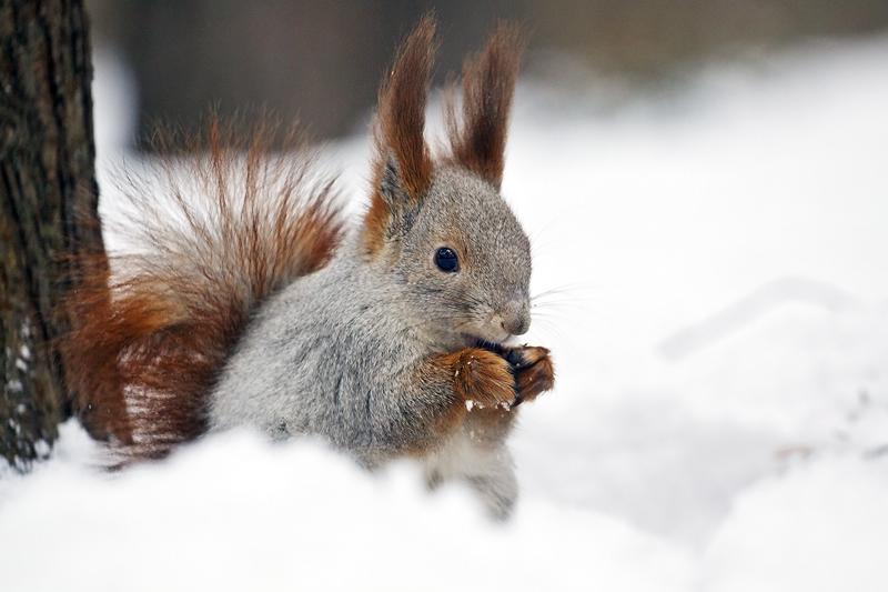 """фото """"А белка слушает, да ест..."""" метки: природа, белочка, зима"""