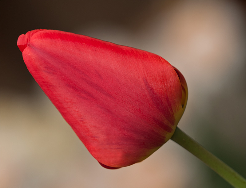 "photo ""Tulip"" tags: nature, tulip"