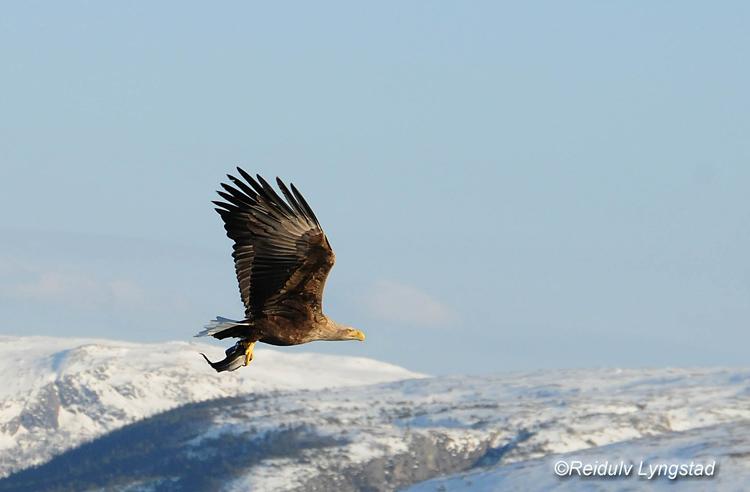 "фото """"Darling! Here comes the dinner"""" метки: природа, eagle, hunt, рыбы"