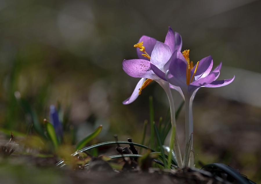 "photo ""***"" tags: macro and close-up, nature, flowers, light, spring, sun, крокусы, первоцветы, цветок"