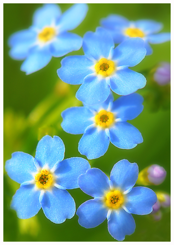 "photo ""Forget me not"" tags: nature, flowers, summer"