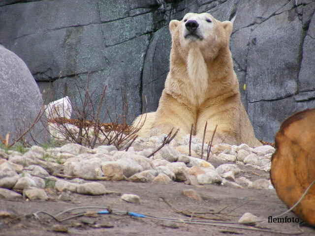 "photo ""Polar bear"" tags: nature,"