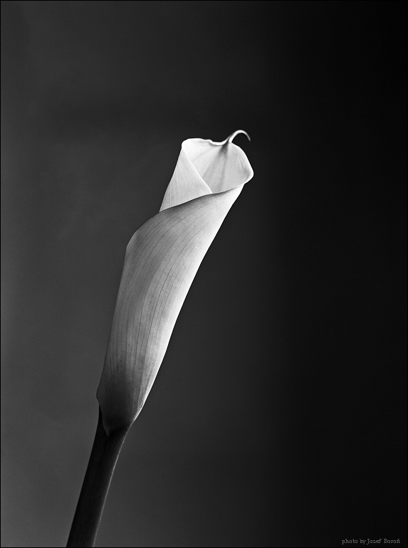 "photo ""... an ordinary flower"" tags: black&white, large format 13x18"
