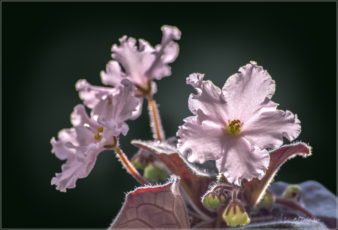 """фото """"Фиалка"""" метки: макро и крупный план, цветы"""