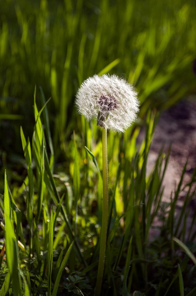 """фото """"одуван"""" метки: природа, одуванчик, трава"""