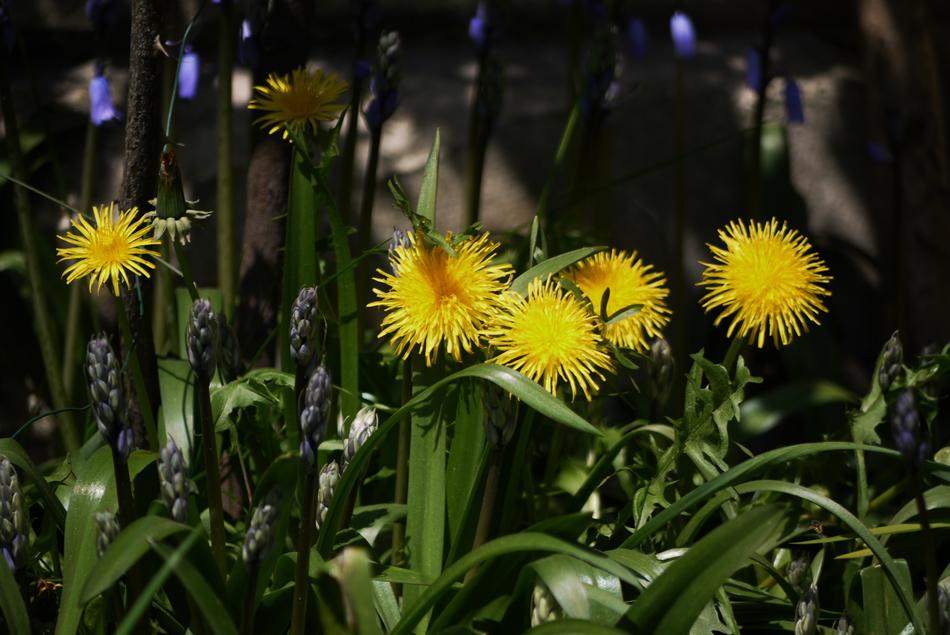"фото ""Dandelions"" метки: природа, spring, цветы"