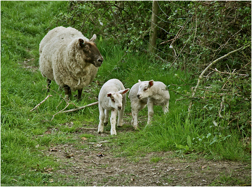 """фото """"Беспокойная мамаша."""" метки: природа, домашние животные, овцы"""