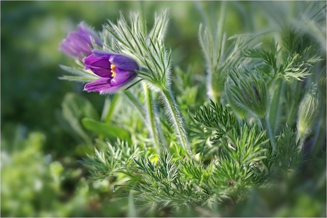 """фото """"Сон-трава"""" метки: природа,"""