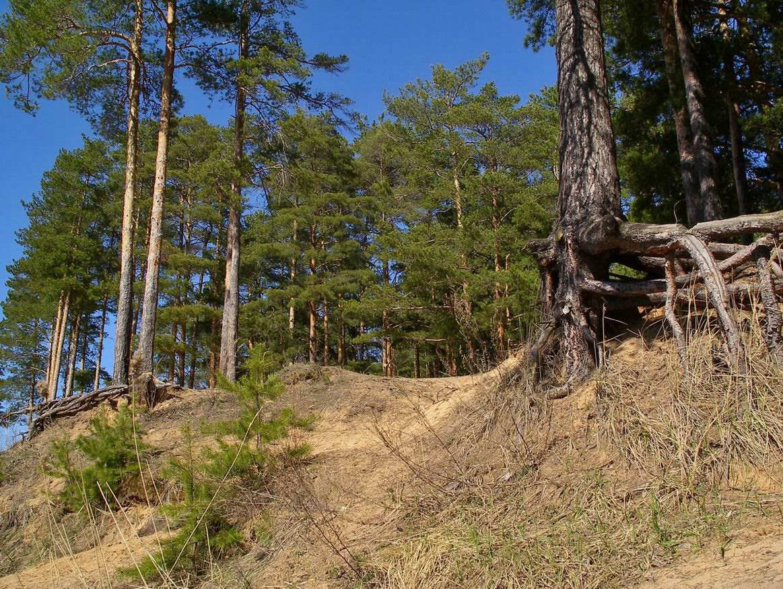 """фото """"Все дело в корнях"""" метки: пейзаж, лес"""