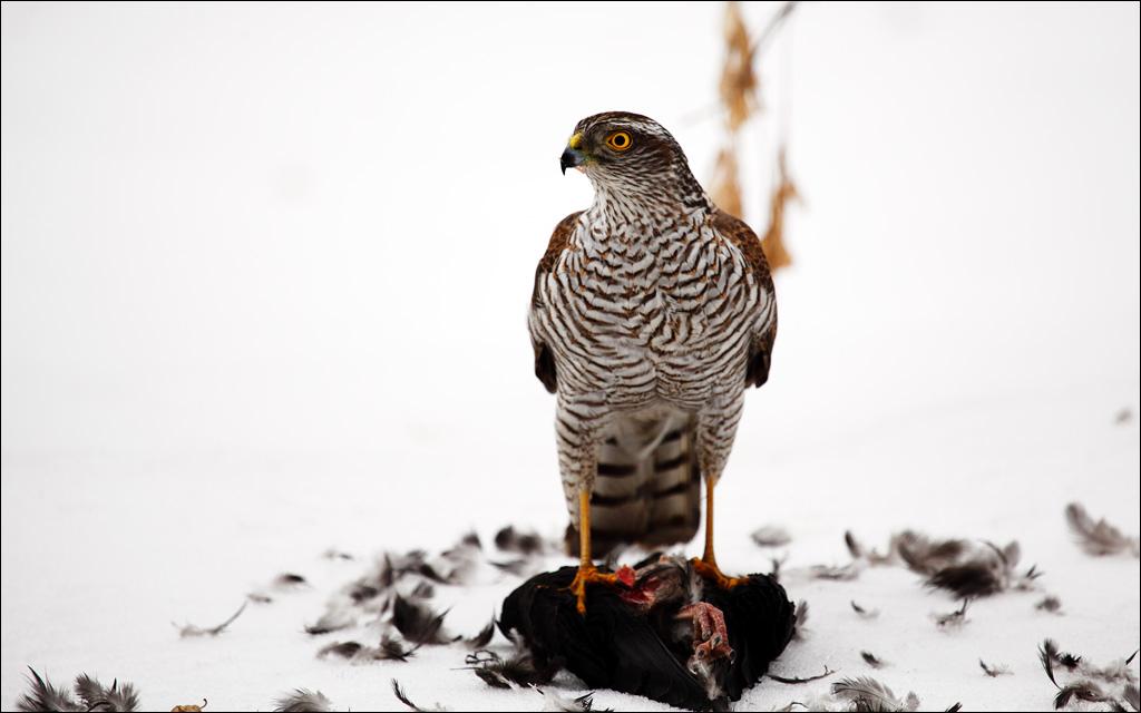 """фото """"Удачная охота"""" метки: природа, животные, хищные птицы"""