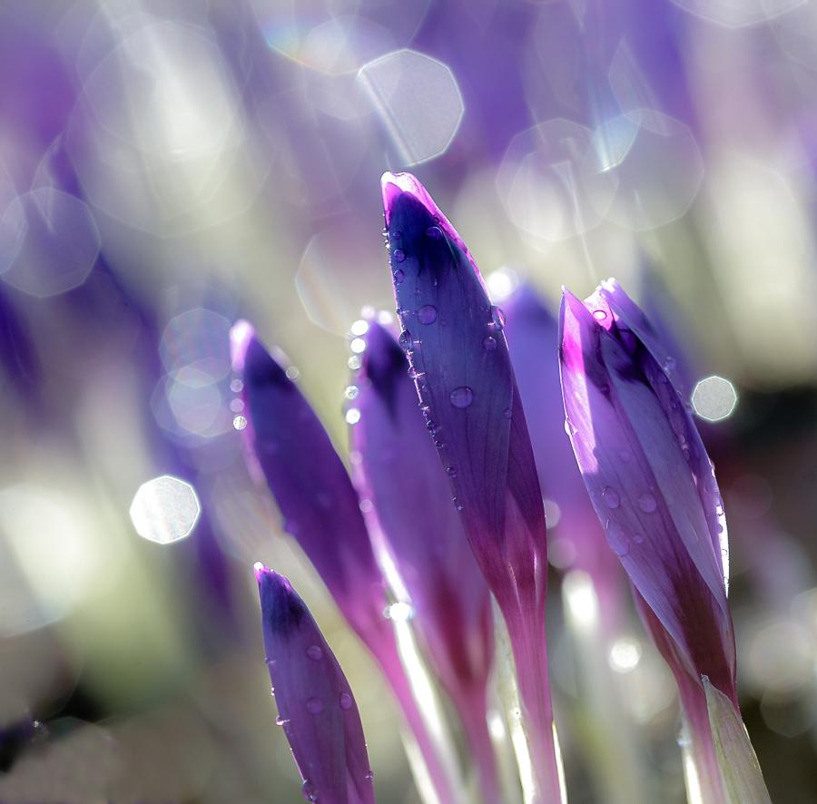 """фото """"spring flight"""" метки: макро и крупный план, природа, весна, крокусы, первоцветы, свет, солнце, цветок, цветы"""